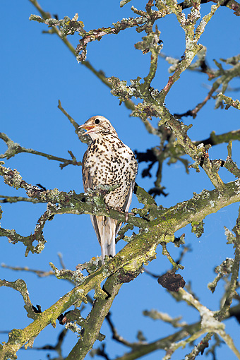 BRD 13 GL0004 01 © Kimball Stock Mistle Thrush Singing On Tree Branch Against Blue Sky