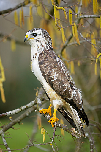 BRD 13 GL0006 01 © Kimball Stock Common Buzzard Perched On Tree Branch