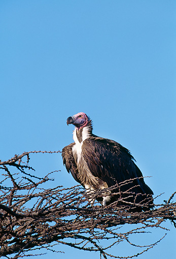 BRD 13 GL0008 01 © Kimball Stock Lappet-Faced Vulture Perched On Branch Against Blue Sky