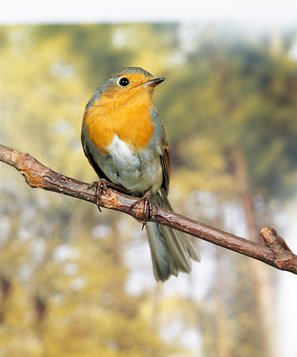 BRD 13 GL0011 01 © Kimball Stock Portrait Of European Robin Perched On Branch