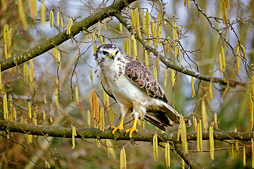 BRD 13 GL0014 01 © Kimball Stock Common Buzzard Perched On Tree Branch Normandy