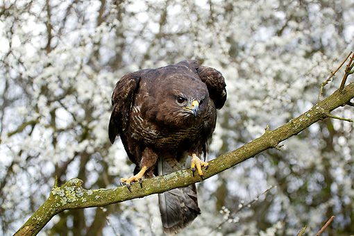 BRD 13 GL0015 01 © Kimball Stock Common Buzzard Perched On Tree Branch Normandy