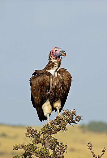 BRD 13 GL0017 01 © Kimball Stock Lappet-Faced Vulture Standing On Branch At Masai Mara Park, Kenya