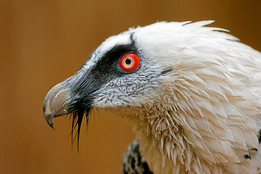 BRD 13 GL0020 01 © Kimball Stock Head Shot Of Bearded Vulture