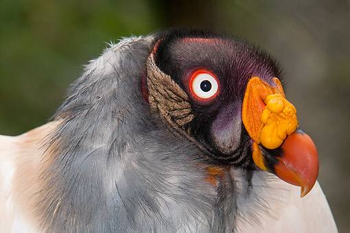 BRD 13 GL0021 01 © Kimball Stock King Vulture Portrait In South America
