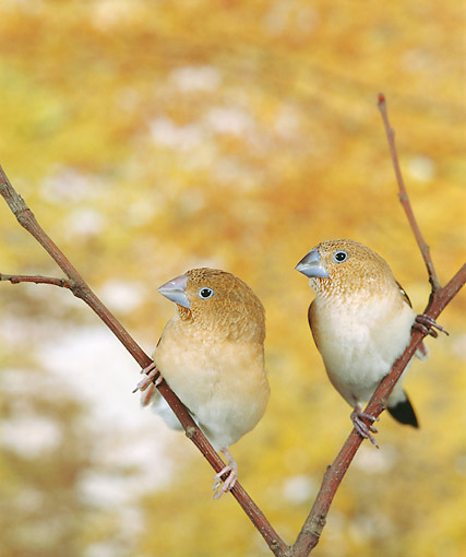 BRD 13 GL0022 01 © Kimball Stock African Silverbills Perching In Tree