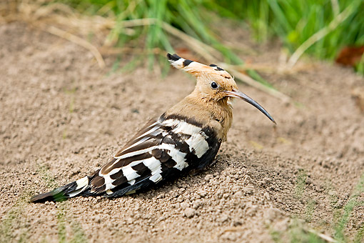 BRD 13 GL0024 01 © Kimball Stock Hoopoe Sitting On Ground In France