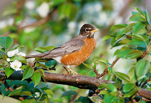 BRD 13 GR0005 01 © Kimball Stock American Robin Perched In Pear Tree