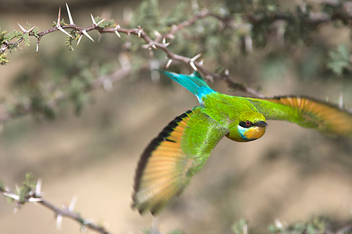 BRD 13 HP0001 01 © Kimball Stock Swallow-Tailed Bee-Eater Flying Through Thorny Branches Kgalagadi Transfrontier Park, South Africa
