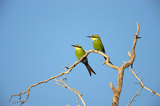 BRD 13 HP0002 01 © Kimball Stock Two Swallow-Tailed Bee-Eaters Perched On Branch Kgalagadi Transfrontier Park, South Africa