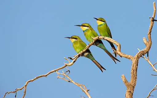 BRD 13 HP0003 01 © Kimball Stock Three Swallow-Tailed Bee-Eaters Perched On Branch Kgalagadi Transfrontier Park, South Africa