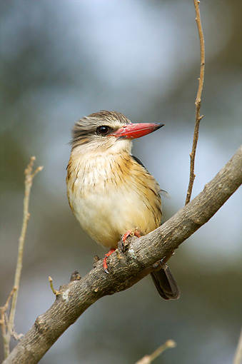 BRD 13 HP0005 01 © Kimball Stock Brown-Hooded Kingfisher Perched On Branch Kruger National Park, South Africa
