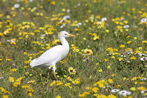 BRD 13 HP0006 01 © Kimball Stock Cattle Egret Standing In Grass And Wildflowers