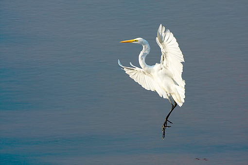 BRD 13 HP0007 01 © Kimball Stock Great White Egret Fishing In Lake
