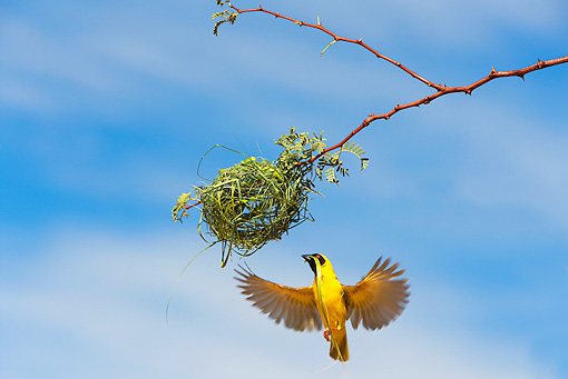 BRD 13 JE0001 01 © Kimball Stock Male Village Weaver Building Nest Of Grass Africa