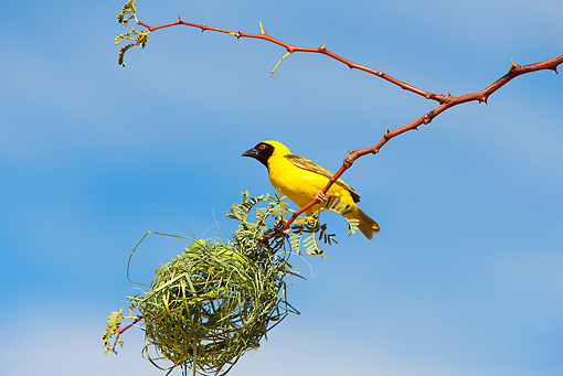 BRD 13 JE0002 01 © Kimball Stock Male Village Weaver Perching By Nest Of Grass Africa