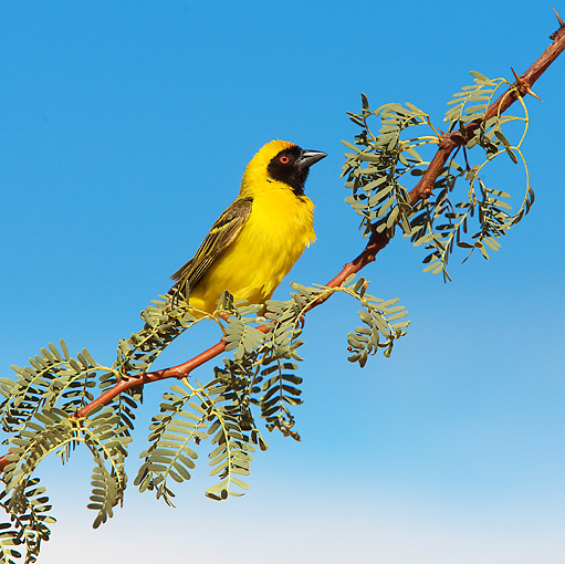 BRD 13 JE0003 01 © Kimball Stock Male Village Weaver Perching On Branch Africa