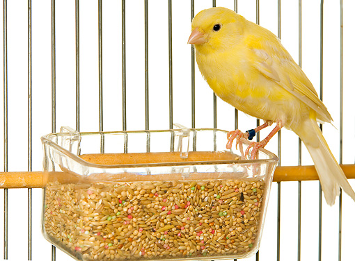 BRD 13 JE0004 01 © Kimball Stock Canary Perched On Food Dish In Cage On White Seamless
