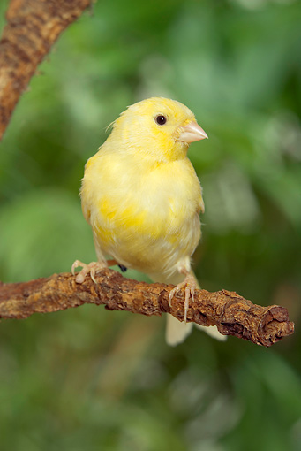 BRD 13 JE0005 01 © Kimball Stock Canary Perched On Tree Branch