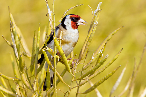 BRD 13 KH0002 01 © Kimball Stock European Goldfinch Perched On Rapeseed Eating Seeds