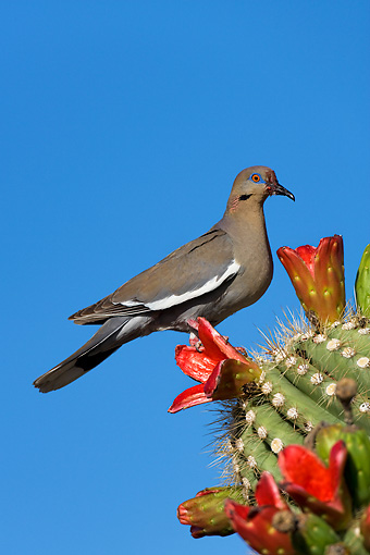 BRD 13 KH0003 01 © Kimball Stock White-Winged Dove Perched On Cactus Eating Fruit In Arizona Desert