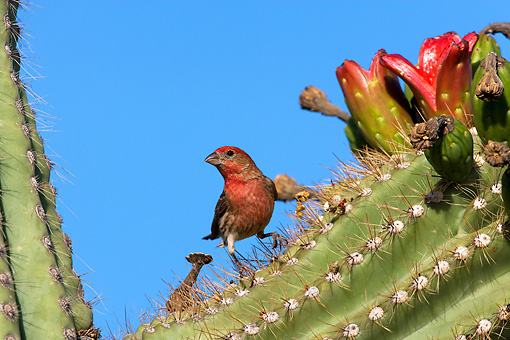 BRD 13 KH0004 01 © Kimball Stock House Finch Perched On Cactus In Arizona Desert