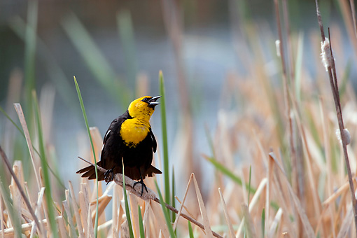 BRD 13 KH0005 01 © Kimball Stock Yellow-Headed Blackbird Sitting In Marsh In Oregon