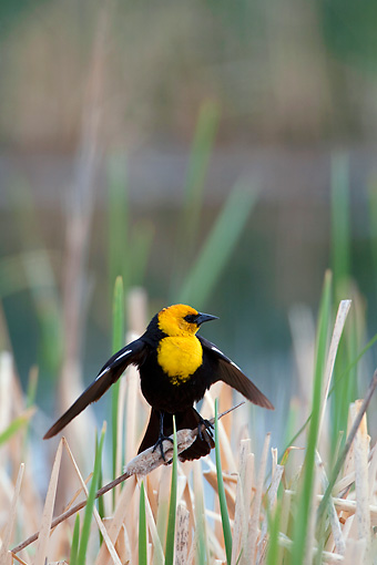 BRD 13 KH0006 01 © Kimball Stock Yellow-Headed Blackbird Sitting In Marsh In Oregon