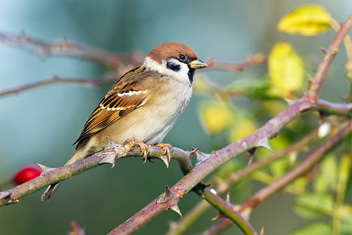 BRD 13 KH0008 01 © Kimball Stock Eurasian Tree Sparrow Perched On Wild Rose Branch In Autumn