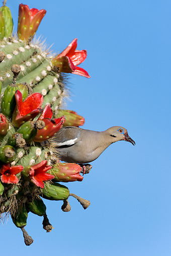 BRD 13 KH0010 01 © Kimball Stock White-Winged Dove Sitting In Cactus Against Blue Sky