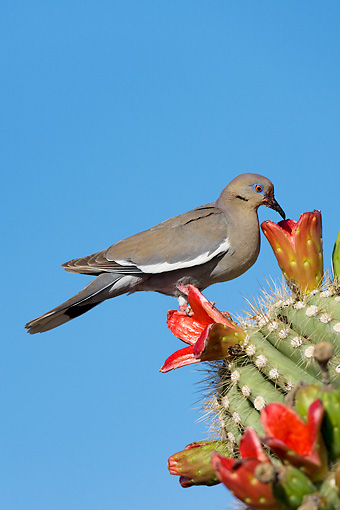 BRD 13 KH0011 01 © Kimball Stock White-Winged Dove Feeding On Cactus Seeds Against Blue Sky