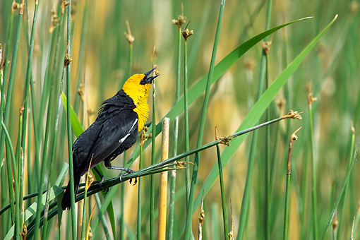 BRD 13 KH0014 01 © Kimball Stock Yellow-Headed Displaying On Cattail