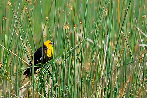 BRD 13 KH0015 01 © Kimball Stock Yellow-Headed Blackbird Displaying On Tall Grass