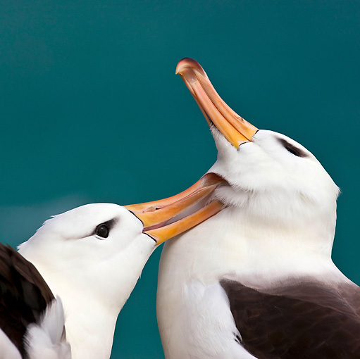 BRD 13 KH0016 01 © Kimball Stock Close-Up Of Two Black-Browed Albatross Grooming Falklands