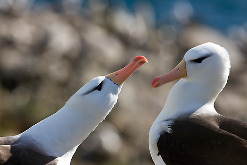 BRD 13 KH0017 01 © Kimball Stock Close-Up Of Two Black-Browed Albatross Falklands