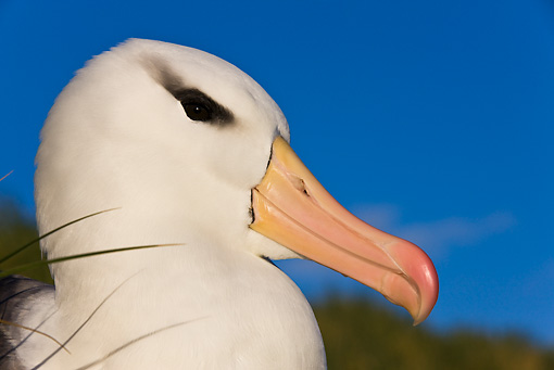 BRD 13 KH0018 01 © Kimball Stock Head Shot Of Black-Browed Albatross Against Blue Sky Falklands