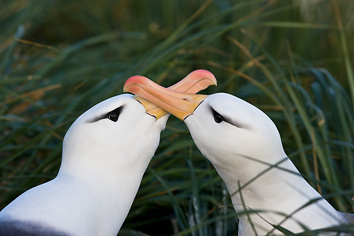 BRD 13 KH0019 01 © Kimball Stock Close-Up Of Two Black-Browed Albatross Crossing Beaks Falklands
