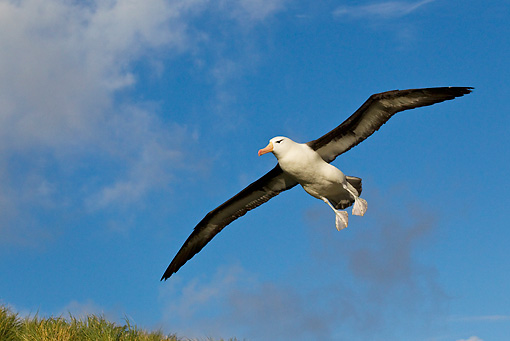 BRD 13 KH0021 01 © Kimball Stock Black-Browed Albatross Flying Over Falklands