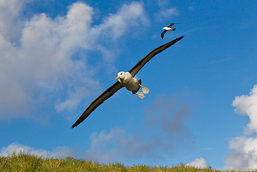 BRD 13 KH0022 01 © Kimball Stock Two Black-Browed Albatross Flying Over Falklands