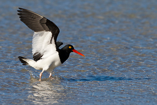 BRD 13 KH0024 01 © Kimball Stock Magellanic Oystercatcher Walking In Shallow Water Falklands