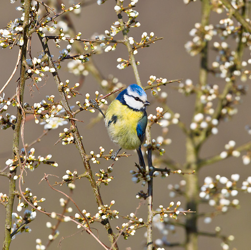 BRD 13 KH0029 01 © Kimball Stock Blue Tit Feeding On Blooming Blackthorn France