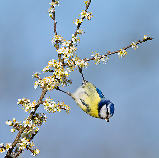 BRD 13 KH0030 01 © Kimball Stock Blue Tit Feeding On Blooming Blackthorn France