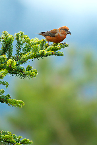 BRD 13 KH0031 01 © Kimball Stock Common Crossbill Male Perched On White Fir Branch Vosges, France