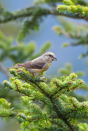 BRD 13 KH0032 01 © Kimball Stock Common Crossbill Female Perched On White Fir Branch Vosges, France