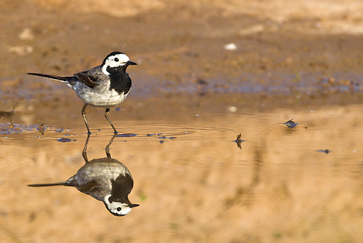 BRD 13 KH0035 01 © Kimball Stock White Wagtail Standing Near Reflection In Water Alsace, France