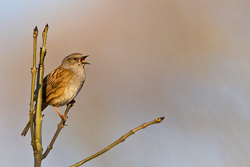 BRD 13 KH0036 01 © Kimball Stock Dunnock Singing From Ash Tree In Spring France
