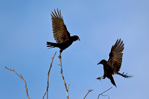 BRD 13 KH0037 01 © Kimball Stock Two Black Crows Flying Near Top Of Willow Tree France