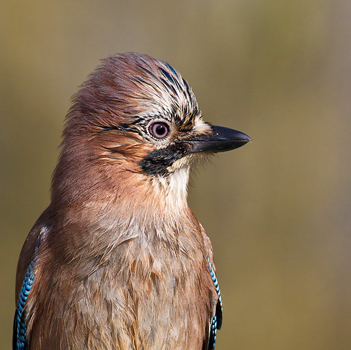 BRD 13 KH0039 01 © Kimball Stock Portrait Of Eurasian Jay France