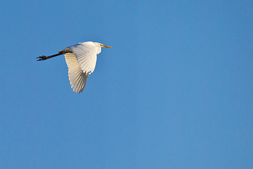 BRD 13 KH0043 01 © Kimball Stock Great White Egret Flying Against Blue Sky France