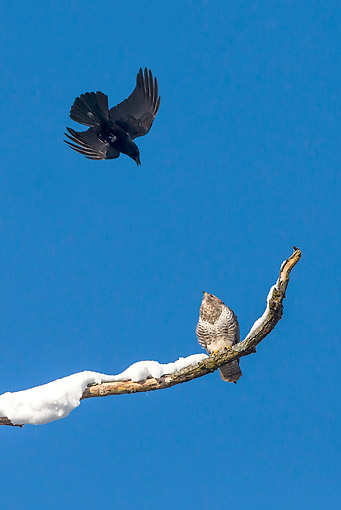 BRD 13 KH0045 01 © Kimball Stock Carrion Crow Scolding Common Buzzard Perched On Snowy Branch France